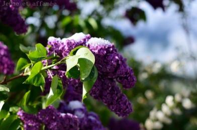 lilas violet