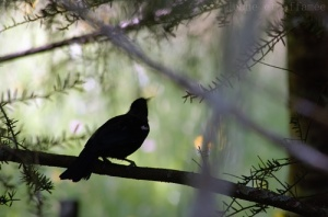 Tui, Nouvelle-Zélande, oiseau