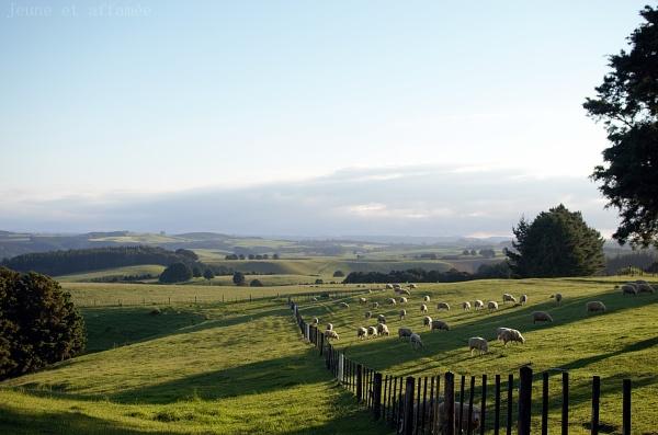 Collines verdoyantes Nouvelle-Zélande