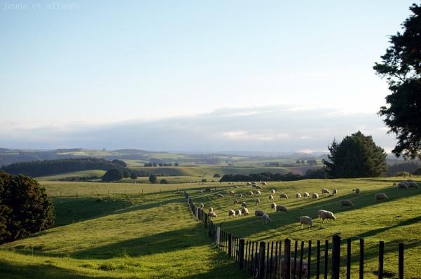 Nouvelle-Zélande, collines et moutons
