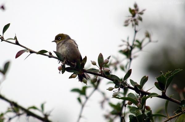 Silver eye, nz bird