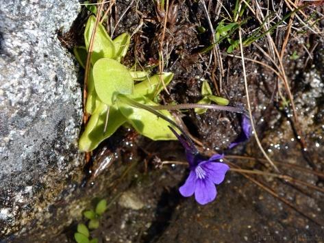 Grassette, fleur carnivore violette