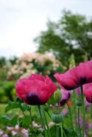 Pavots dans le jardin de Giverny