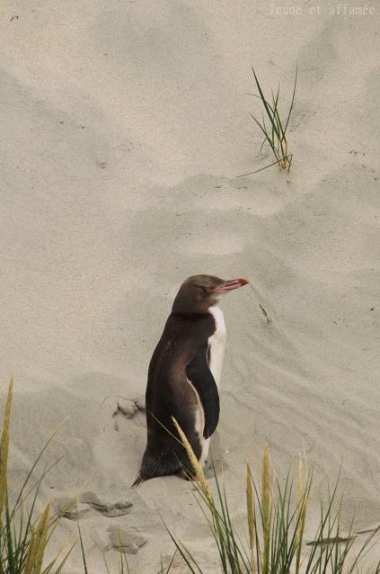 Manchot antipode (yellow-eyed penguin ou hoiho)